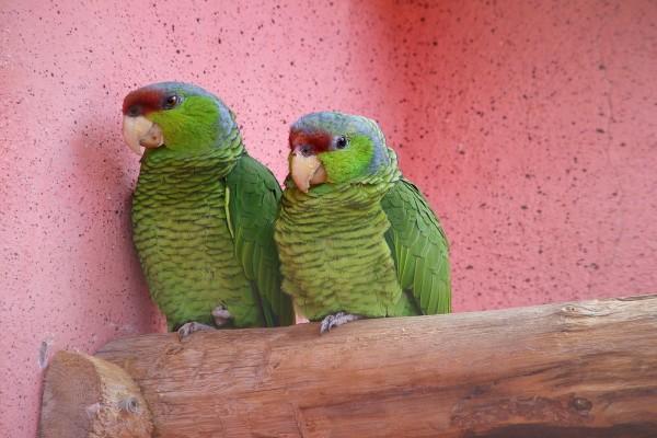 Dos loritos de color verde