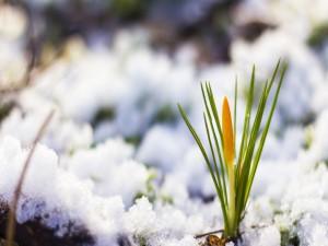 Azafrán amarillo entre la nieve