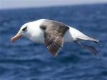Albatros en el aire