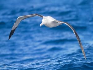 Albatros en vuelo sobre el mar