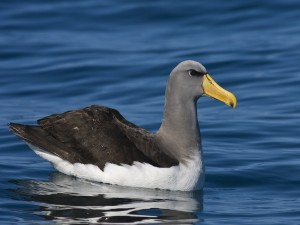 Postal: Un bonito albatros en el agua