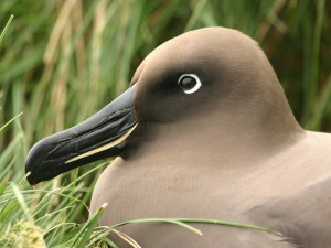 Postal: Phoebetria, ave de la familia de los albatros