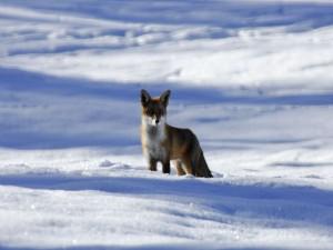 Postal: Un zorro parado en la nieve