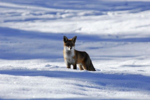 Un zorro parado en la nieve