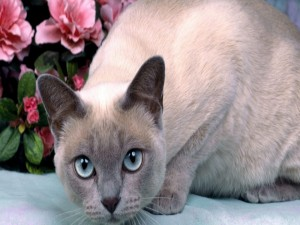 Un gato gris de ojos azules