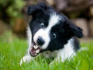 Postal: Perro comiendo margaritas