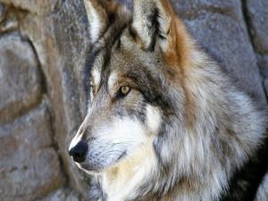 Postal: El perfil de un lobo