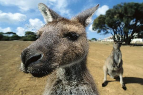 La cara del canguro
