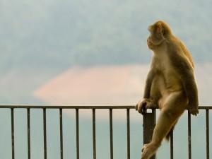 Postal: Mono sobre la valla