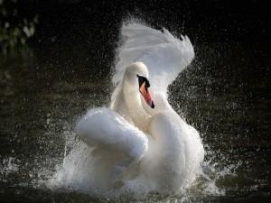 Postal: Cisne moviendo sus alas en el agua