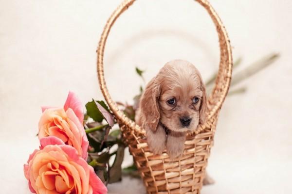 Perrito en una cesta junto a unas rosas