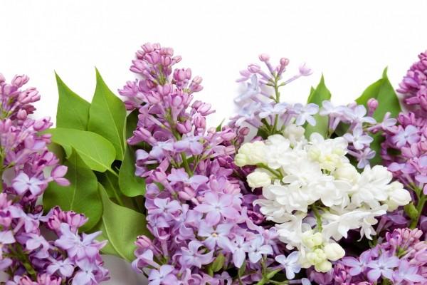 Hojas y flores de lila