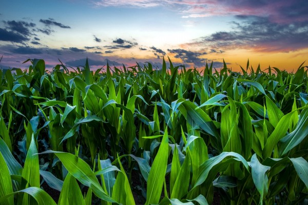 Puesta de sol en un campo de maíz