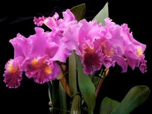 Postal: Orquídeas color violeta