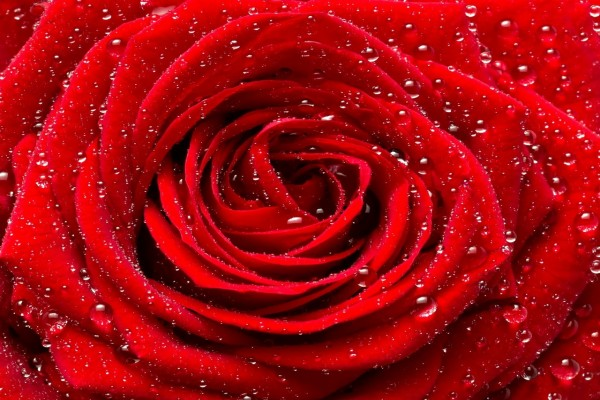 Rosa roja con gotitas de rocío