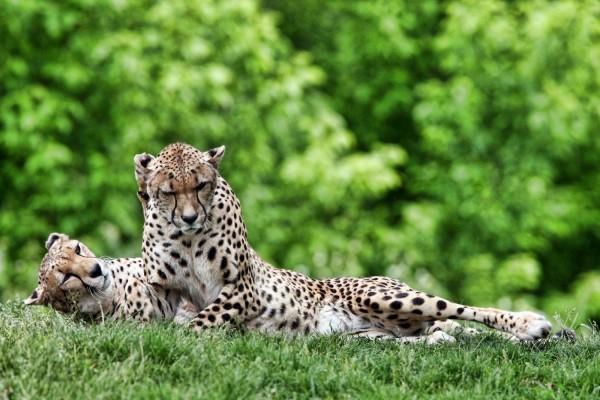Guepardos tumbados en la hierba