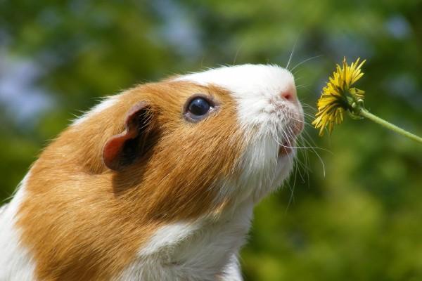 Cobaya oliendo la flor