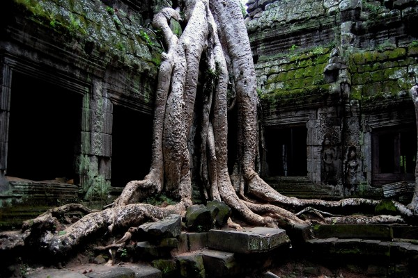 Las raíces de un gran árbol entre las ruinas del templo (Ankor)