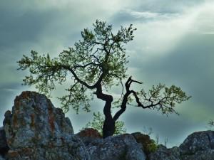 Postal: Árbol en las rocas