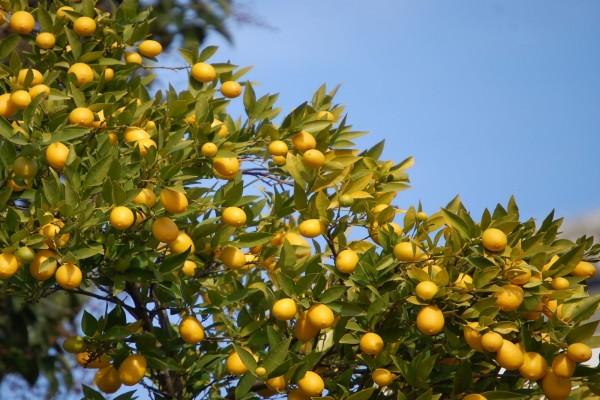 Limonero con limones