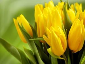 Tulipanes amarillos con sus hojas verdes