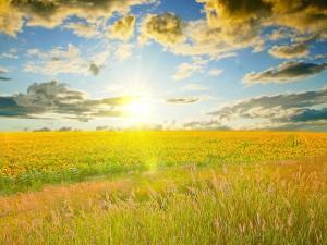 El sol iluminando un campo de girasoles