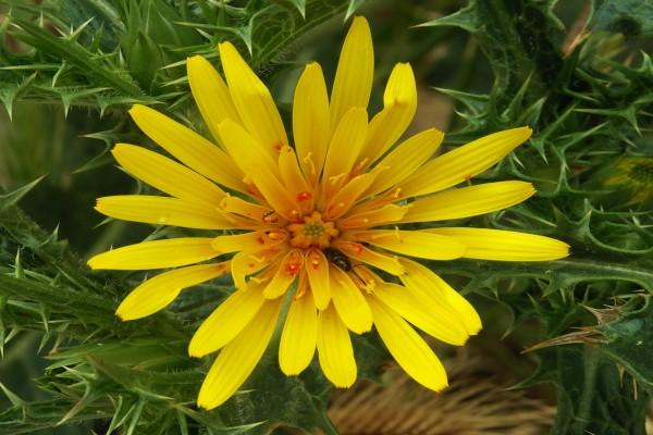 Flor amarilla plagada de insectos