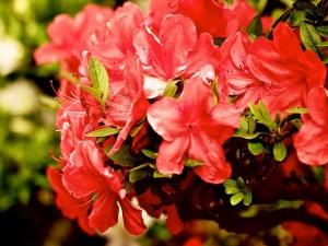 Postal: Rama con azaleas rojas