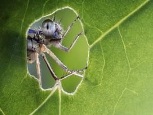 Insecto asomándose por el agujero de una hoja