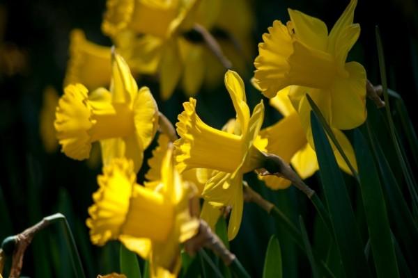 Narcisos amarillos entre sol y sombra