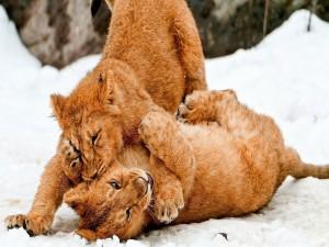 Dos cachorros de león jugando en la nieve
