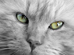 Postal: La cara y ojos de un precioso gato