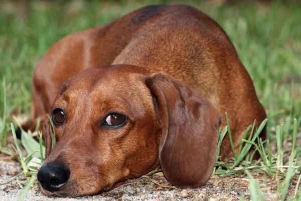 Perro marrón tumbado en la hierba