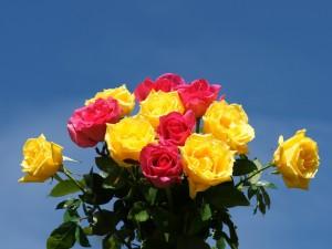 Postal: Rosas amarillas y rosas recién regadas