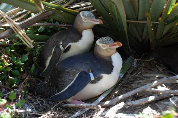 Pingüinos de ojo amarillo