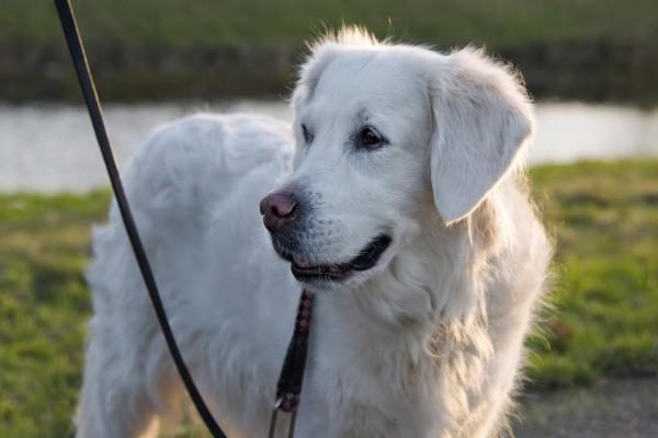 Labrador retriever de color blanco