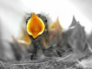 Postal: Polluelo en el nido con el pico abierto