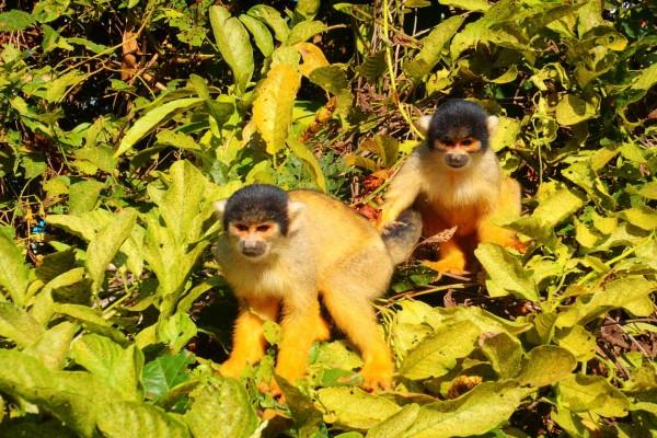 Dos monos entre las hojas