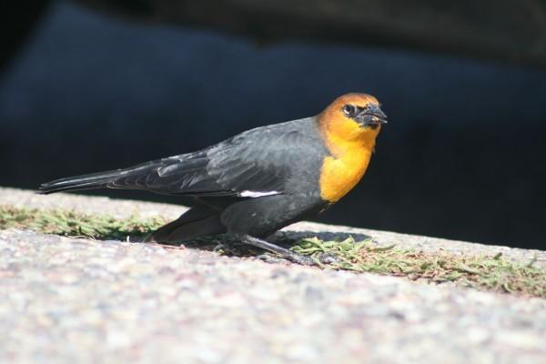 Pájaro con la cabeza amarilla