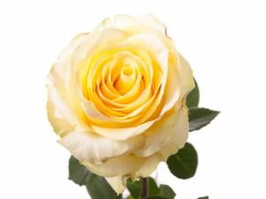 Postal: Una rosa de bonitos pétalos