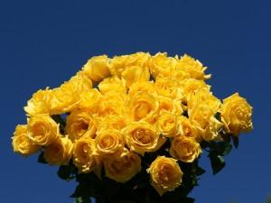 Postal: Rosas amarillas en un fondo azul