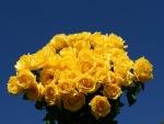 Rosas amarillas en un fondo azul