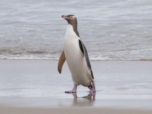 Postal: Pingüino de ojo amarillo saliendo del agua
