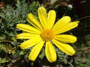 Postal: Una especie de margarita de color amarillo
