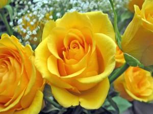 Rosas amarillas en un ramo