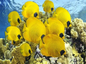 Postal: Bonitos y grandes peces de color amarillo