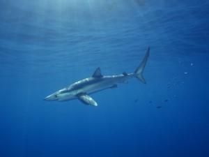 Postal: Tiburón azul