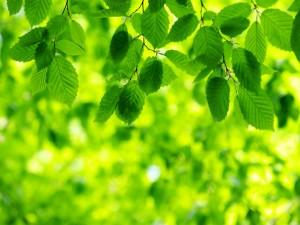 Postal: Ramas con hojas verdes