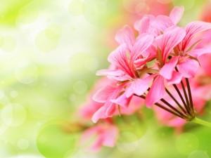 Postal: Flores con pétalos rosas