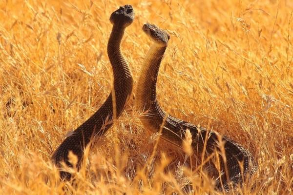 Dos víboras en la hierba seca